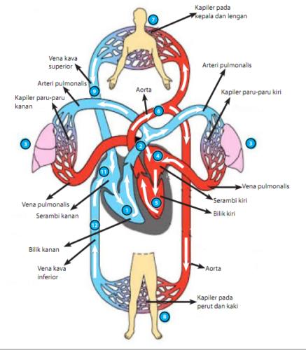 Sistem Peredaran Darah Manusia Idschool