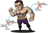 cara kerja otot bisep dan trisep