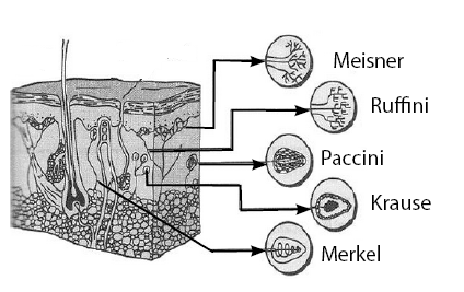 fungsi bagian-bagian kulit