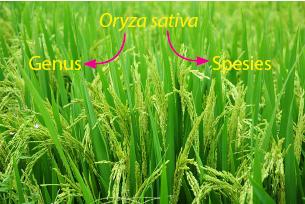 nama ilmiah padi