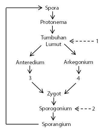 Contoh Soal Fase Gametofit dan Sporofit pada Tumbuhan Lumut