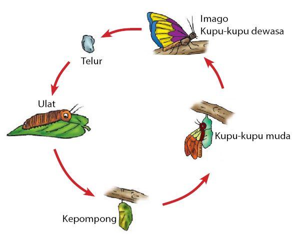 Metamorfosis Sempurna - Kupu-kupu