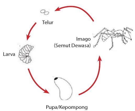 Metamorfosis Sempurna - Semut