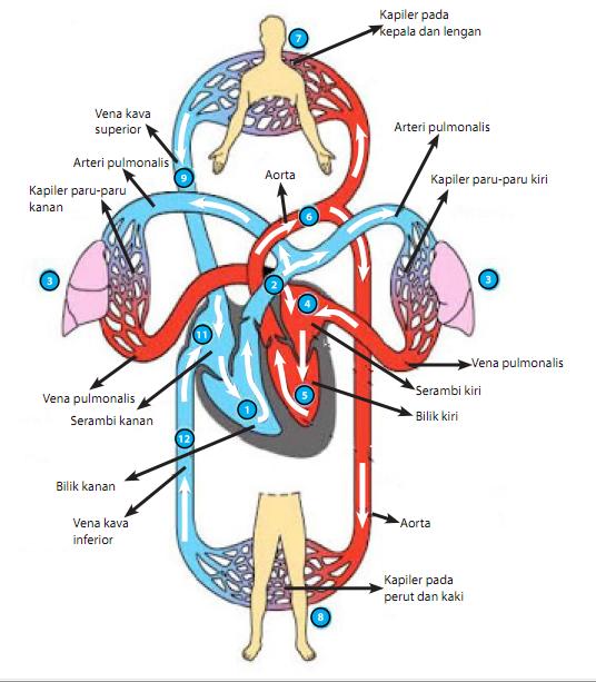 Klainan Sistem Peredaran Darah pada Manusia