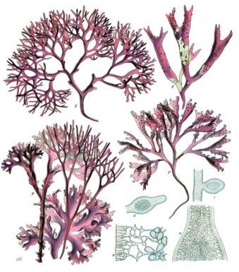 Ganggang Merah - Rhodophyta