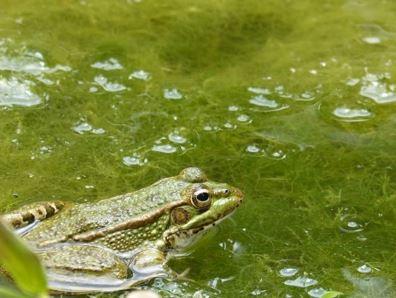 Ganggang Hijau - Chlorophyta