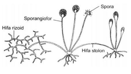 Klasifikasi Jamur - Zygomycota