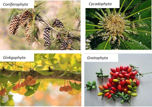 Tumbuhan Berbiji Terbuka - Gymnospermae