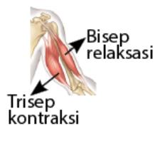 Cara Kerja Otot Bisep dan Trisep Saat Meluruskan Lengan Bawah