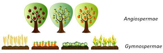 Tumbuhan Berbiji Terbuka dan Tertutup
