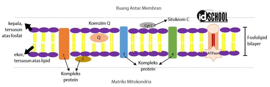 Bagan Membran Dalam Mitokondria