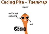 Cacing Pita