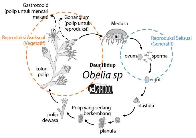 Daur Hidup Obelia sp