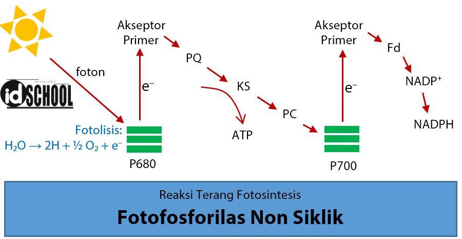 Fotofosforilasi Non Siklik