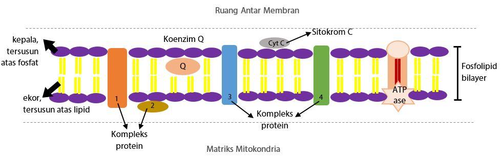 Membran Dalam Mitokondria (Krista)