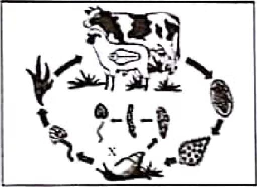 Soal UN SMA IPA Biologi 2018 - Daur Hidup Makhluk Hidup (Fasciola hepatica)
