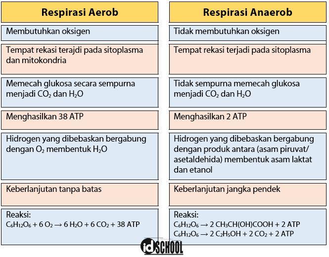 Tabel Perbedaan Respirasi Aerob dan Anaerob