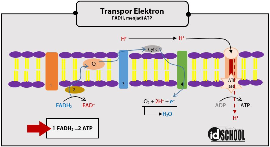 Tahapan Merubah FADH2 menjadi ATP pada Transpor Elektron