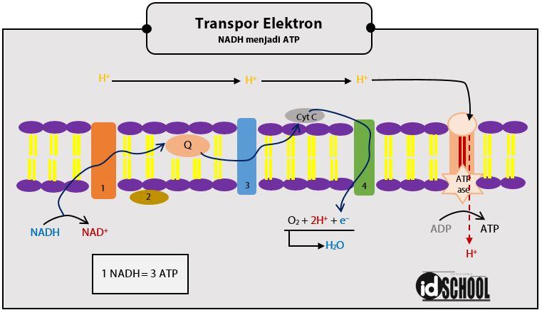 Tahapan Merubah NADH menjadi ATP pada Transpor Elektron