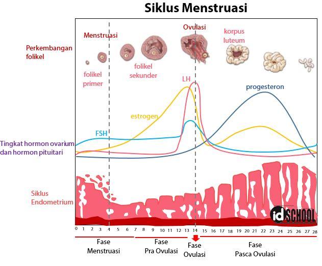 4 Tahapan Siklus Menstruasi