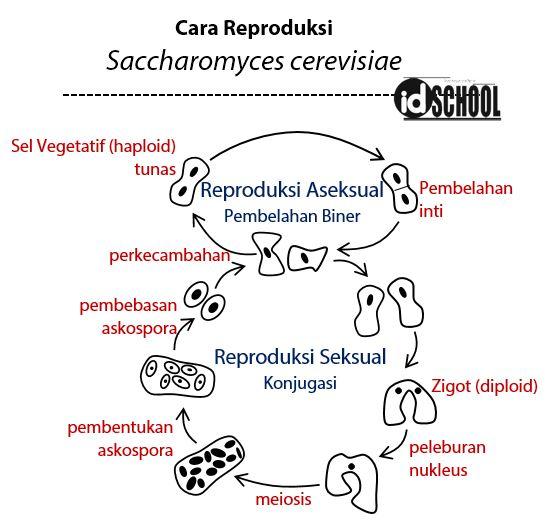 Cara Reproduksi Saccharomyces cerevisiae