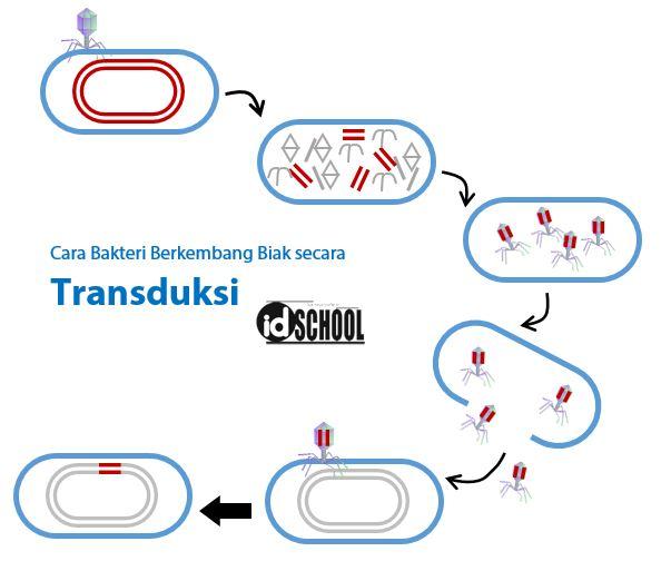 Cara Bakteri Berkembang Biak dengan Transduksi