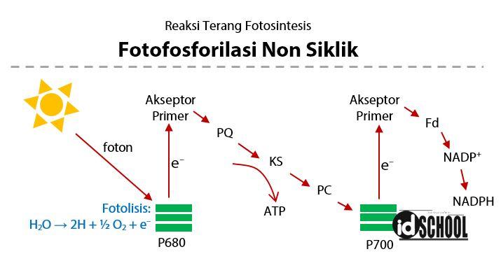 Proses Fotofosforilasi Non Siklik