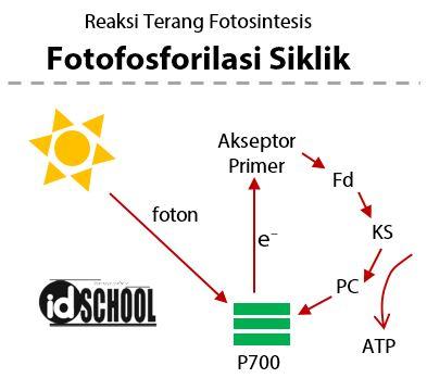 Proses Fotofosforilasi Siklik