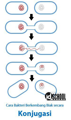 Reproduksi Bakteri dengan Konjugasi