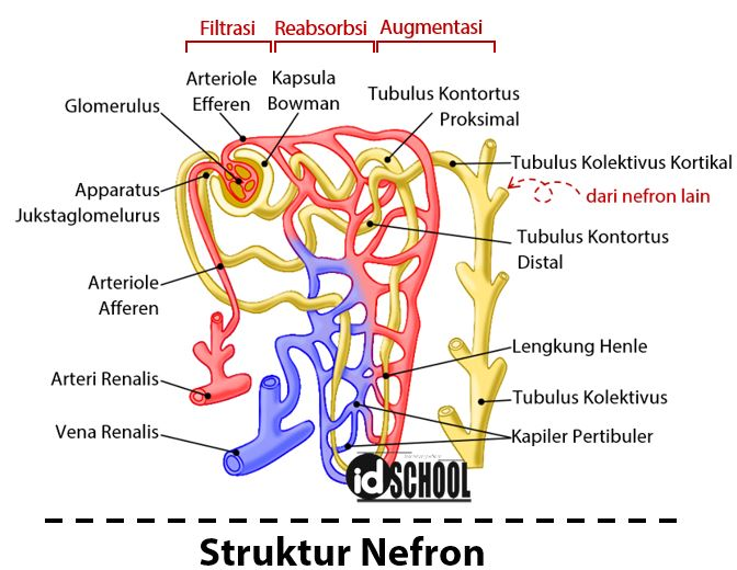 Struktur Nefron Ginjal