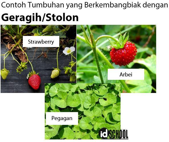 Contoh Tumbuhan yang Berkembangbiak dengan Geragih/Stolon