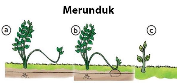 Contoh Tumbuhan yang Berkembangbiak dengan Merunduk