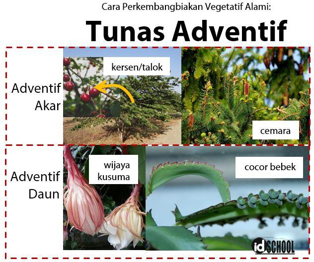 Contoh Tumbuhan yang Berkembangbiak dengan Tunas Adventif