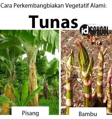 Contoh Tumbuhan yang Berkembangbiak dengan Tunas