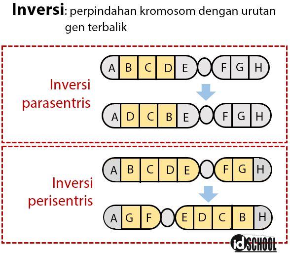 Kelainan Struktur Kromosom - Inversi