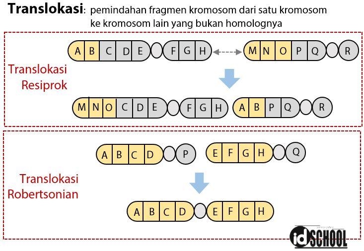 Kelainan Struktur Kromosom - Translokasi