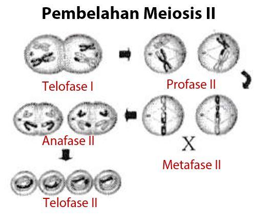 Pembelahan Sel Mitosis Dan Meiosis Idschool