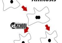 Pembelahan Sel Amitosis