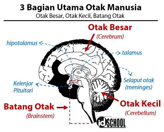 3 Bagian Utama Otak Manusia