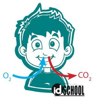 Fungsi Sistem Peredaran Darah Untuk Mengangkut Oksigen dan Karbondioksida