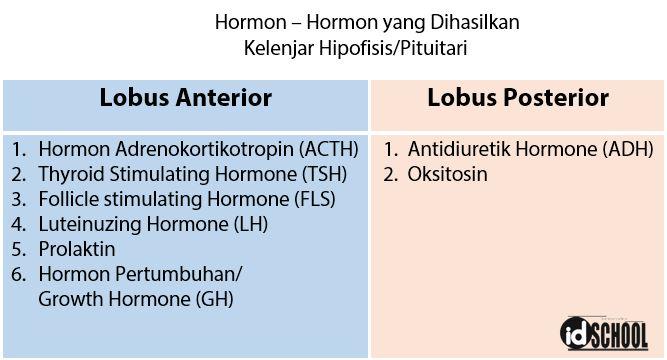 Hormon - Hormon yang Dihasilkan Kelenjar Pituitari/Hipofisis