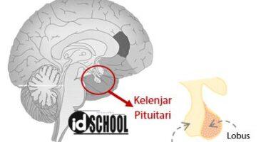Letak Kelenjar Hipofisis (Kelenjar Pituitari)