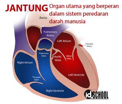 Organ Utama yang Berperan dalam Sistem Peredaran Darah Manusia