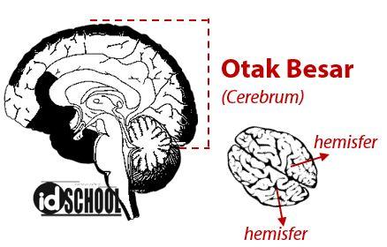 Otak Besar (Cerebrum)