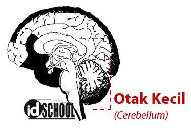 Otak Kecil (Cerebellum)