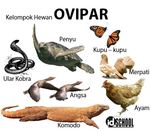 Cara Perkembangbiakan Hewan Secara Generatif Melalui Ovipar