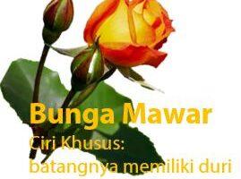 Ciri Khusus Tumbuhan - Bunga Mawar
