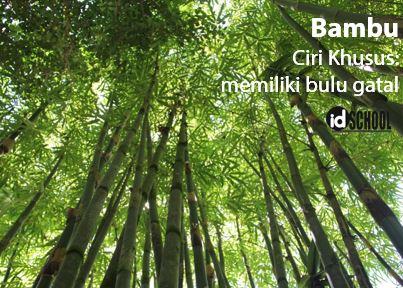 Ciri Khusus Pohon Bambu