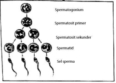 Contoh Soal Tahapan pada Spermatogenesis