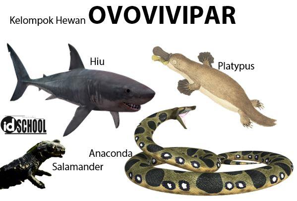 Perkembangbiakan Hewan Secara Generatif Melalui Ovovivipar